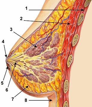 устройство на женски гърди
